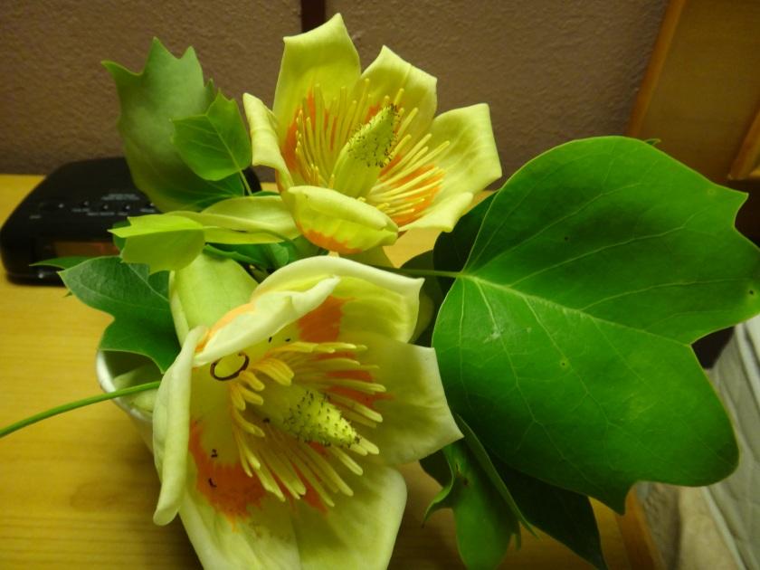 bee tree tulip poplar